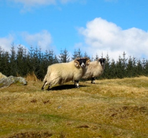 Handsome Scottish Blackface ram