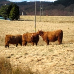 Highland cattle kisses