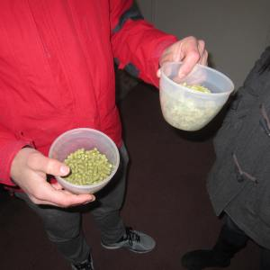 Hops for brewing
