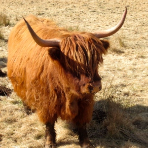Scottish Highland cow up close