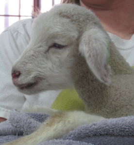 And last photo is of a sweet little lamb than came to Newport Spin In.  It's owner was hand-feeding & raising it.  What a precious face!