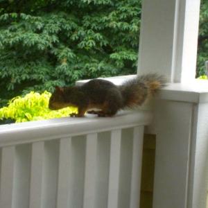 Squirrel, Brown .a