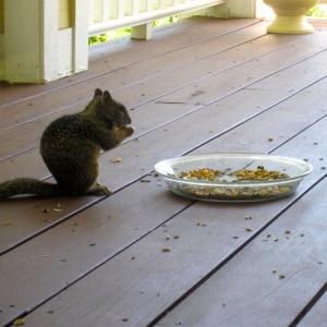 Squirrel, Calif Ground