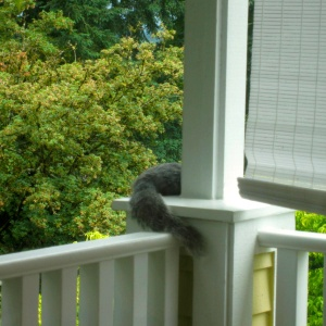 Squirrel, Gray, lounging