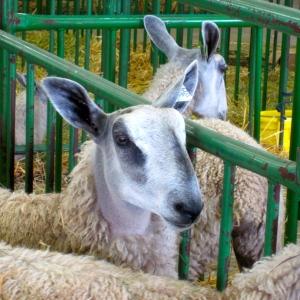 Tumble Creek Farm BFL