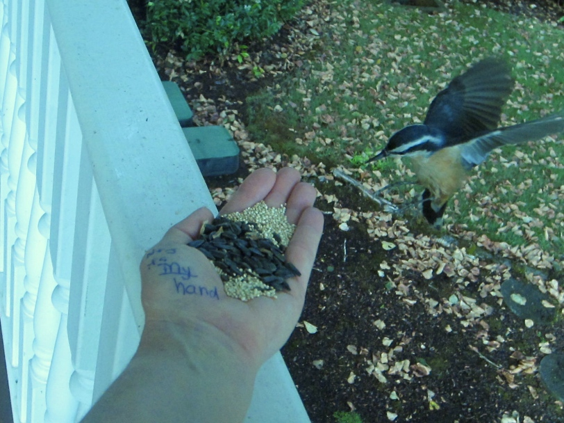 Nuthatch landing on hand